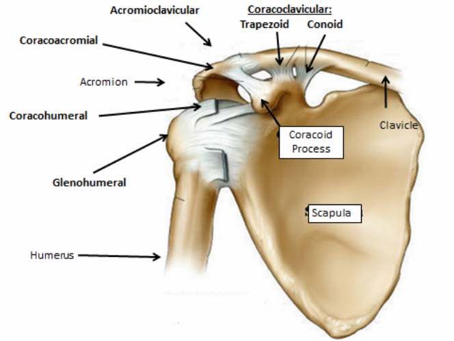 Joints and Ligaments - Shoulder Joint